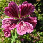 Bechermalve Bluete violett Lavatera trimestris 01