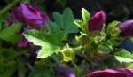 Bechermalve Bluete violett Lavatera trimestris 06