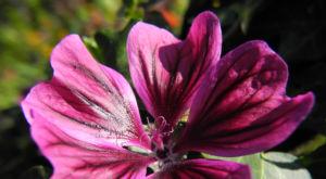 Bechermalve Bluete violett Lavatera trimestris 12