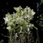 Begonie Bluete weiss Begonia Rotundifolia 09