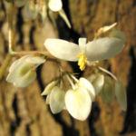 Begonie Bluete weisslich Begonia scabrida 01