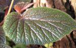 Begonie Bluete weisslich Begonia scabrida 02 1