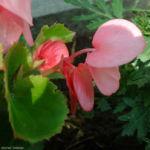 Begonie rosa Begonia 01