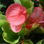 Begonie rosa Begonia 02 1