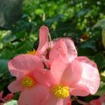 Begonie rosa Begonia 04