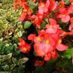 Begonie rot Begonia semperflorens hybdriden 01 1