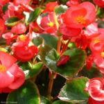 Begonie rot Begonia semperflorens hybdriden 02