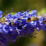 Begrannter Isop Bluete blau Hyssopus officinalis 03