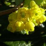 Berberitze Bluete gelb Berberis vulgaris 05