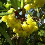 Berberitze Bluete gelb Berberis vulgaris 06