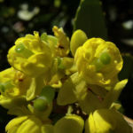 Berberitze Bluete gelb Berberis vulgaris 07