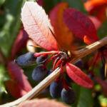 Berberitze blaue Frucht Berberis 03