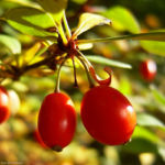 Berberitze gemeine rote Frucht Berberis vulgaris 01