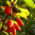 Berberitze gemeine rote Frucht Berberis vulgaris 02