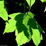 Berg Ahorn Bluete Acer pseudoplatanus 02