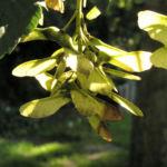 Berg Ahorn Frucht Acer pseudoplatanus 01