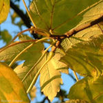 Berg Ahorn Acer pseudoplatanus 05