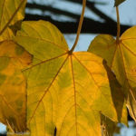Berg Ahorn Acer pseudoplatanus 06