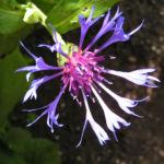 Berg Flockenblume Bluete blau Centaurea montana 02