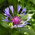 Berg Flockenblume Bluete blau Centaurea montana 04