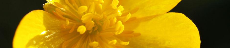 berg-hahnenfuss-kraut-bluete-gelb-ranunculus-montanus
