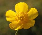 Berg Hahnenfuss Kraut Bluete gelb Ranunculus montanus 05