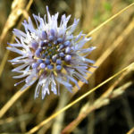 Berg Jasione Bluete hellblau Jasione montana 03