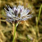 Berg Jasione Bluete hellblau Jasione montana 05