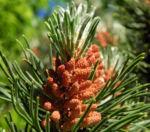 Berg Kiefer Bluete braun Pinus mugo 05