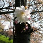 Berg Kirsche Baum Bluete weiss Prunus subhirtella 02
