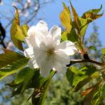 Berg Kirsche Baum Bluete weiss Prunus subhirtella 04