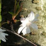 Berg Kirsche Baum Bluete weiss Prunus subhirtella 08