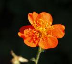 Berg Nelkenwurz Bluete gelb orange Geum montanum 06