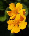 Berg Nelkenwurz Bluete gelb orange Geum montanum 11