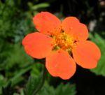 Berg Nelkenwurz Bluete orange Geum montanum 01