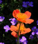 Berg Nelkenwurz Bluete orange Geum montanum 03