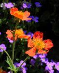 Berg Nelkenwurz Bluete orange Geum montanum 05