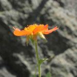 Berg Nelkenwurz Bluete orange Geum montanum 06