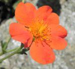 Berg Nelkenwurz Bluete orange Geum montanum 07