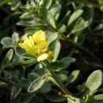 Berg Steinkraut Bluete gelb Alyssum montanum 03