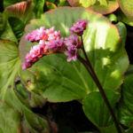 Bergenie Steinbrech Bluete rose Bergenia cordifolia 04