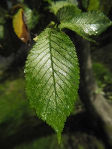 Bergulme Blatt gruen Ulmus glabra 03