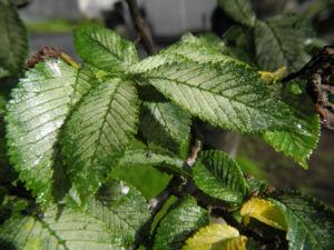 Bergulme Blatt gruen Ulmus glabra 04