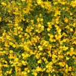 Besen Ginster Bluete gelb Cytisus scoparius Sarothamnus scoparius 01