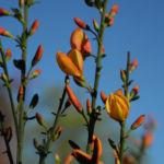 Besenginster Bluete gelb orange Cytisus scoparius 21