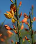 Besenginster Bluete gelb orange Cytisus scoparius 23