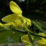 Besenginster gelbe Bluete Spartium junceum 02