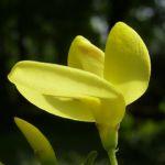 Besenginster gelbe Bluete Spartium junceum 03
