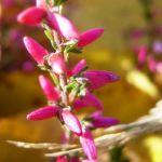 Besenheide Heidekraut Calluna vulgaris 03