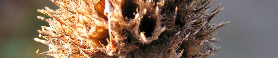 heil-ziest-staude-samenstand-braun-stachys-officinalis